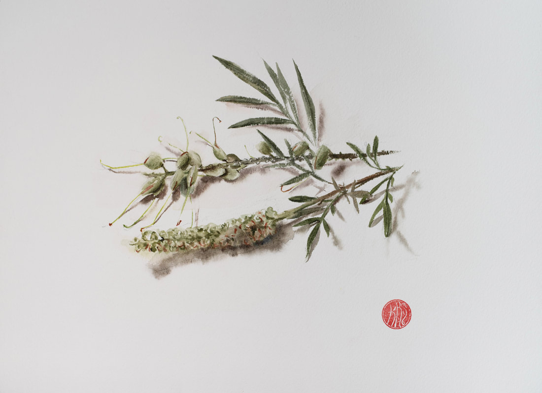 watercolour, watercolour, krsmith_artist, botanical_watercolour, grevillea